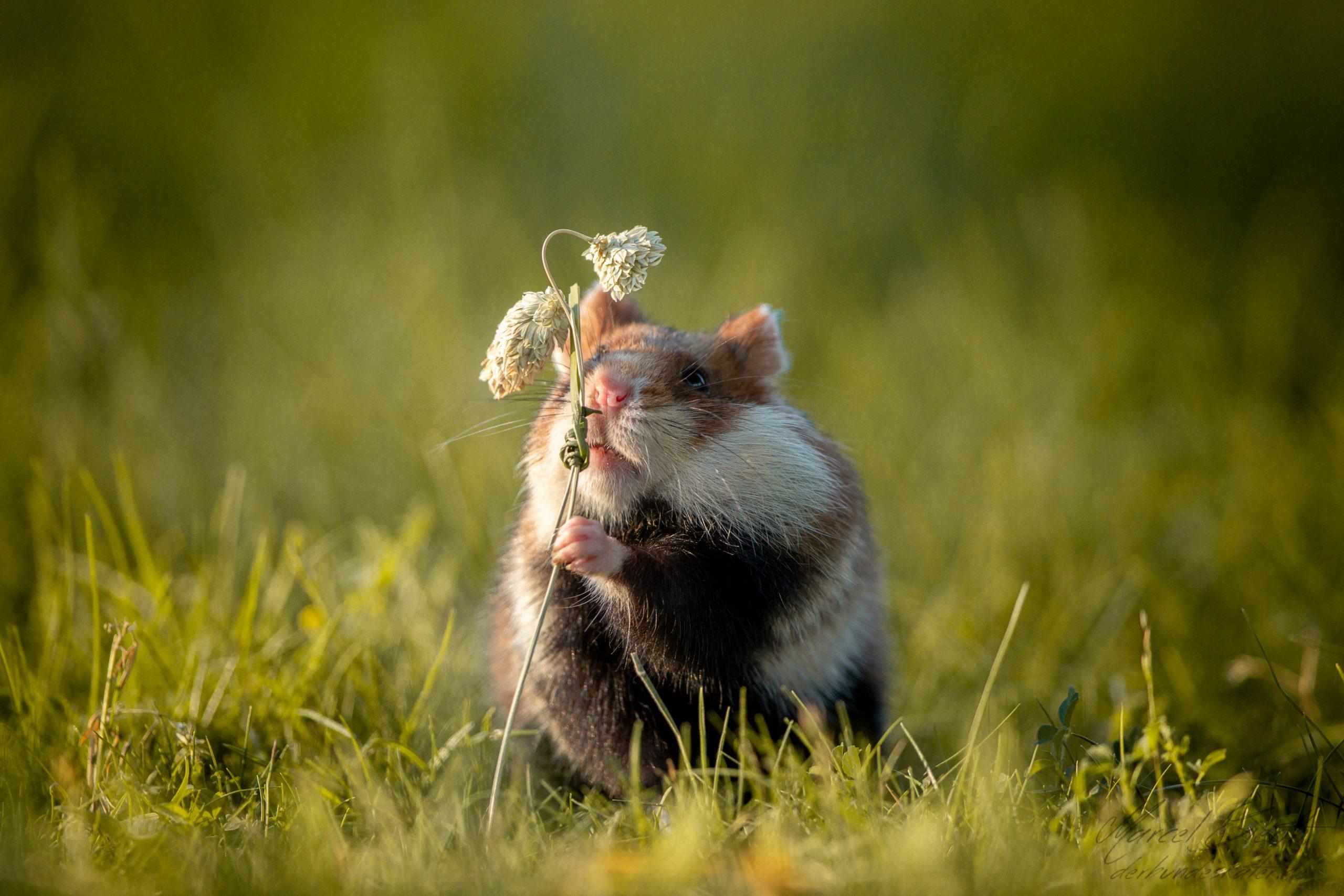 Hamster schnuppert an Blume  - Fotograf Marcel Gierth