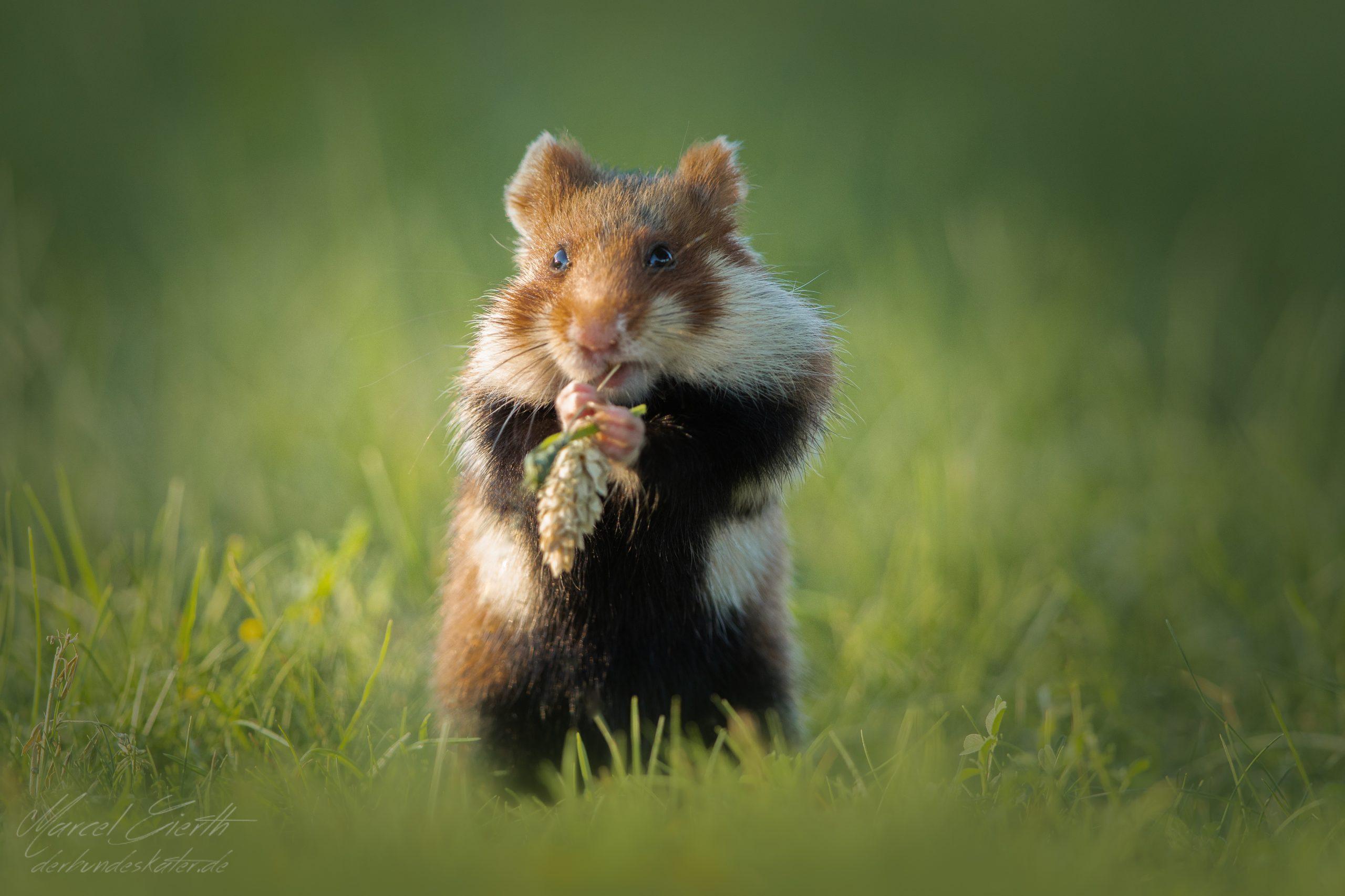 Hamster frisst am Grashalm  - Fotograf Marcel Gierth