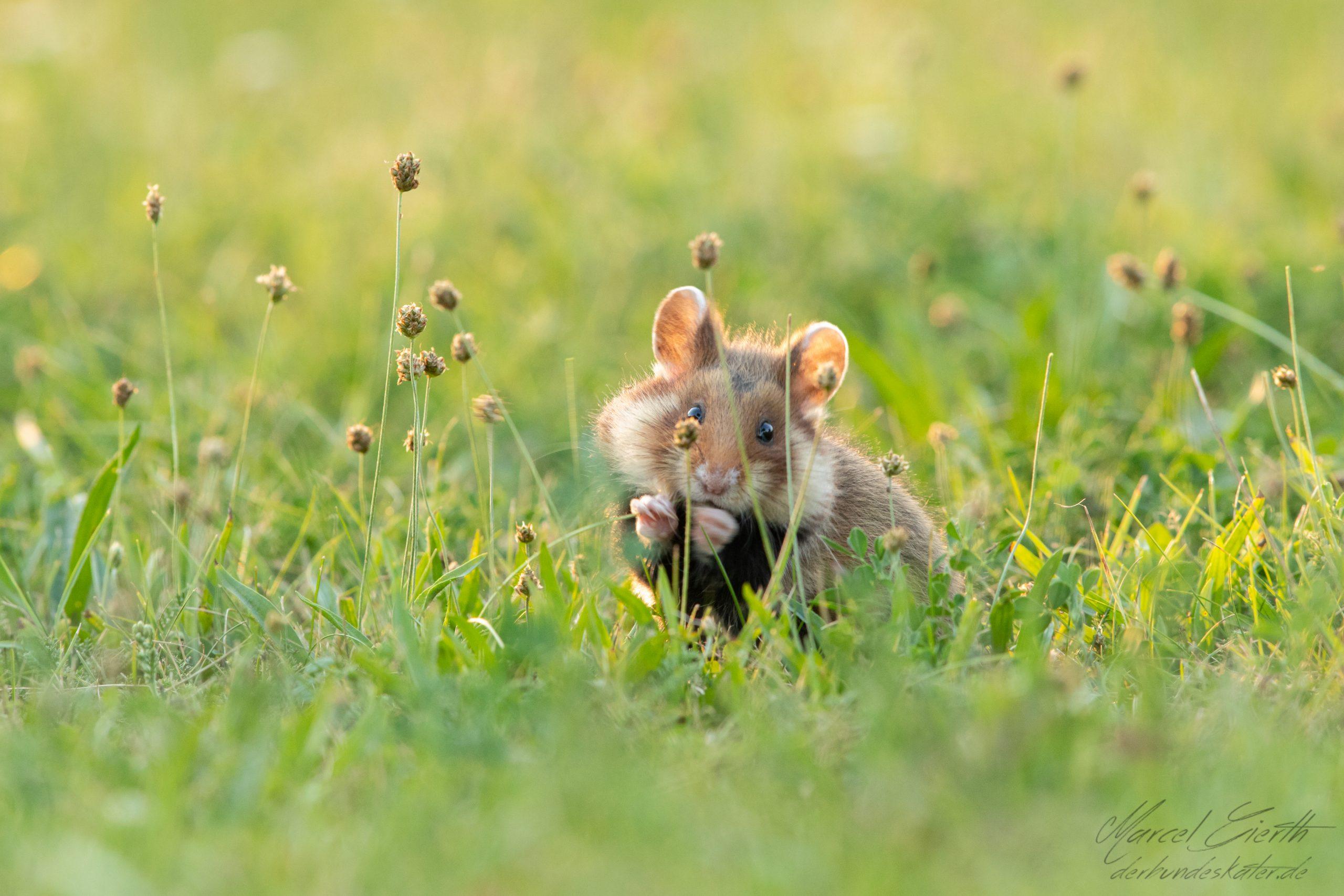 Hamster frisst und schaut nachdenklich  - Fotograf Marcel Gierth