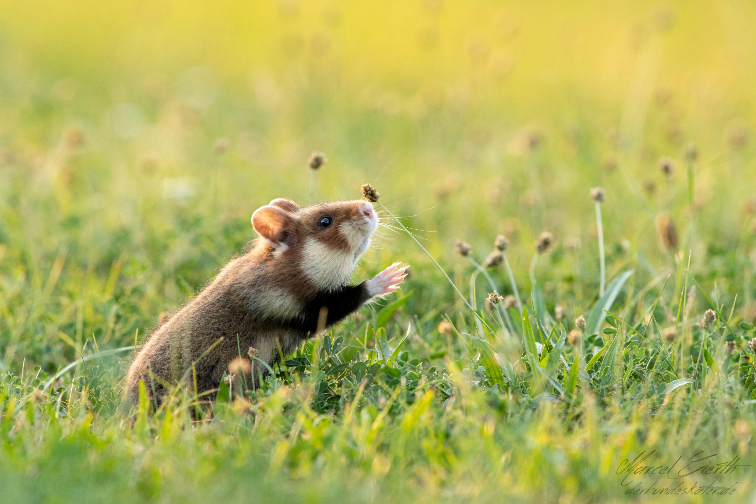 Schnuppernder Hamster  - Fotograf Marcel Gierth