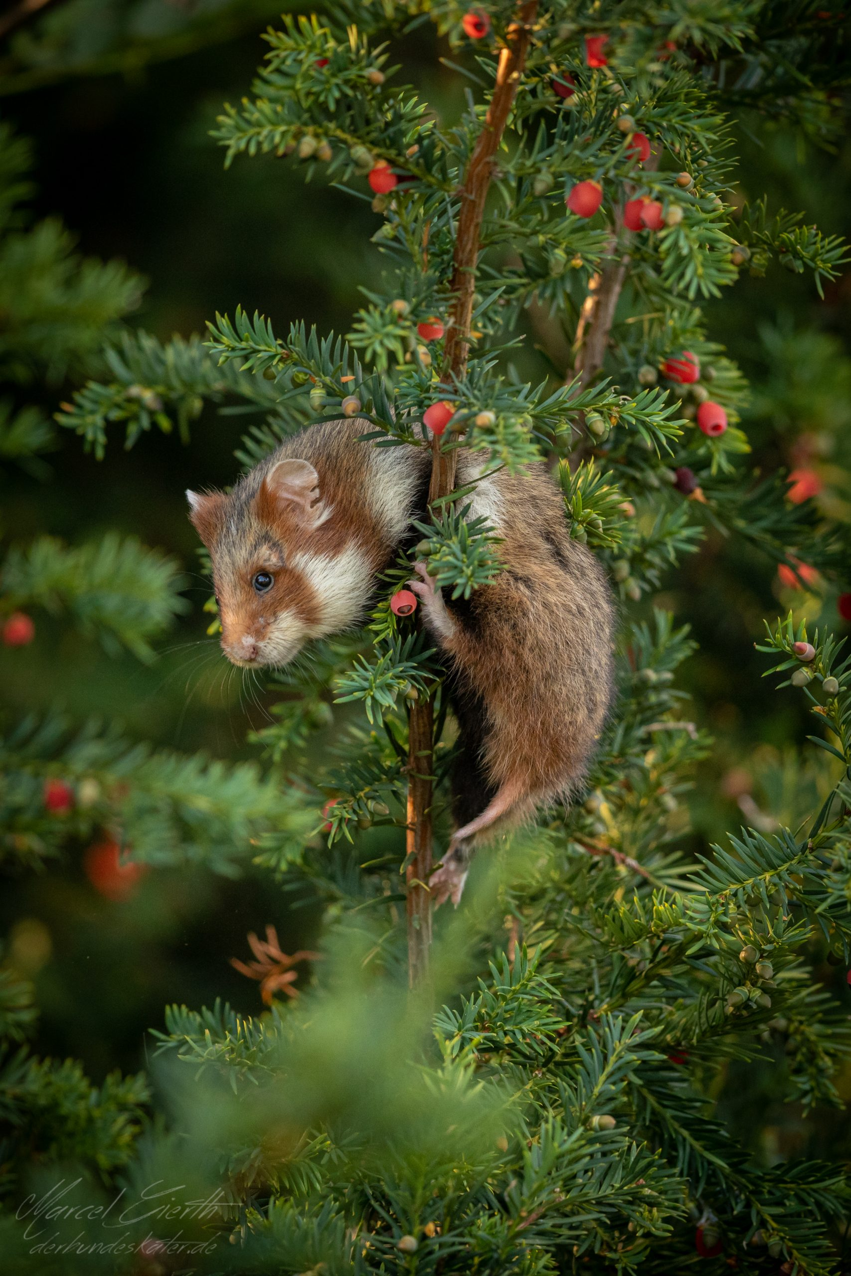 Hamster in Eibe  - Fotograf Marcel Gierth