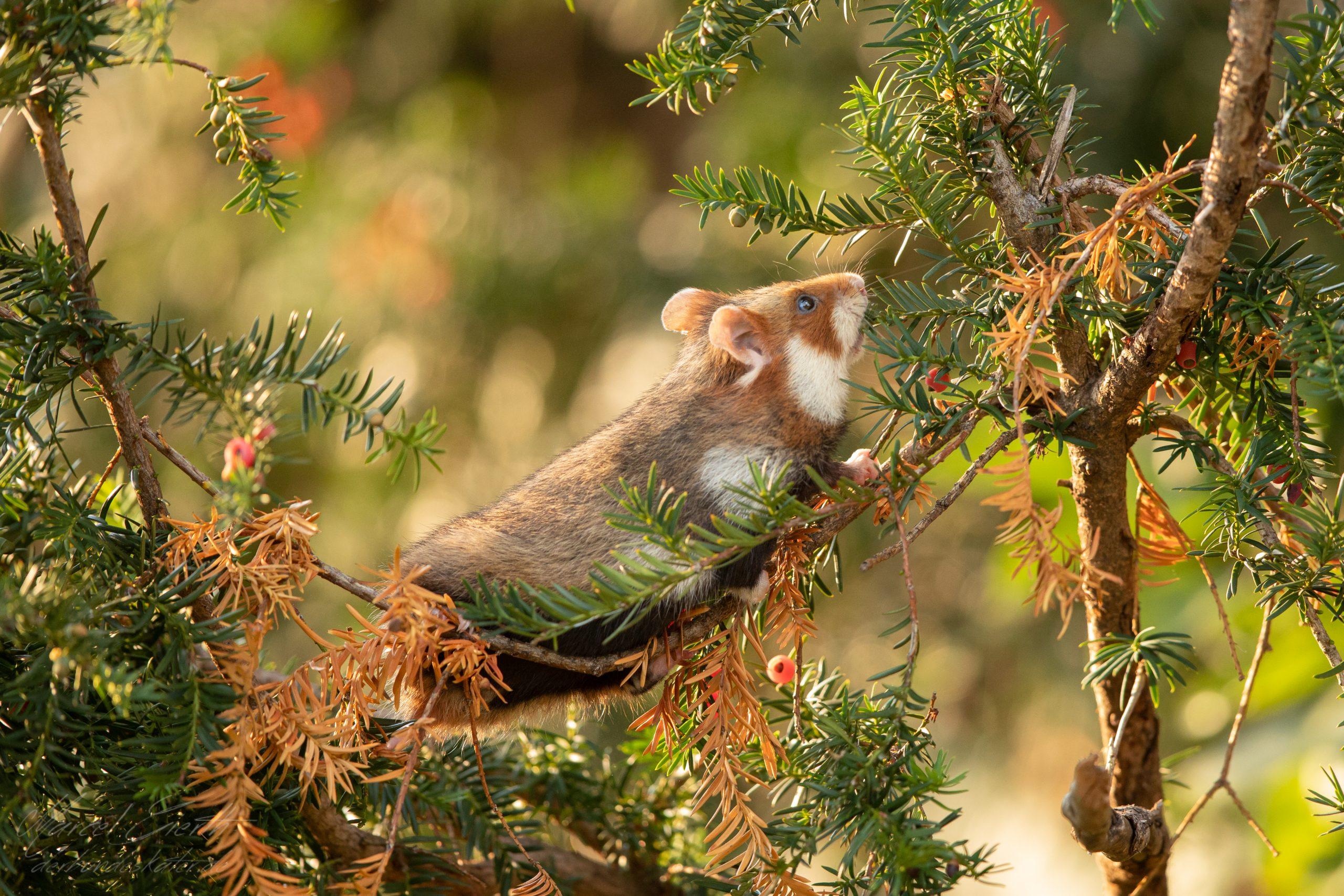 Hamster auf Eibe  - Fotograf Marcel Gierth