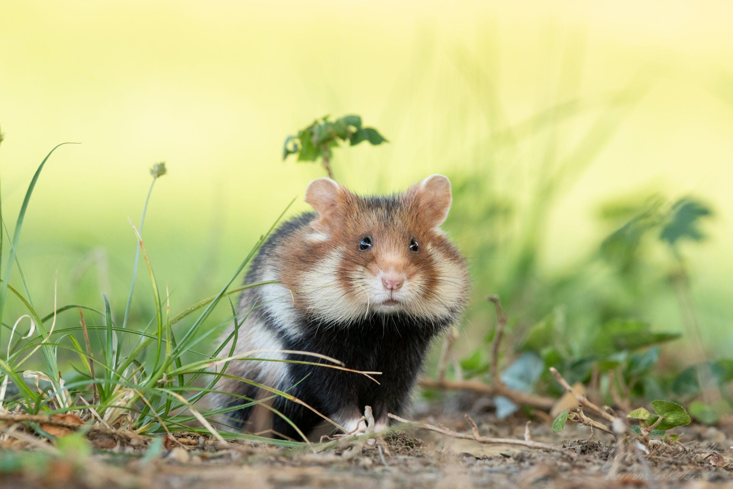 Hamster schaut in die Kamera .  - Fotograf Marcel Gierth