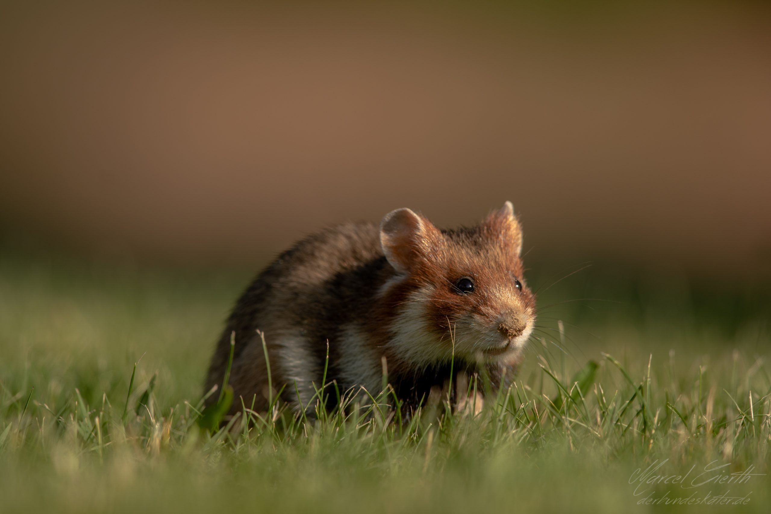 Hamster mit dreckigem Näschen  - Fotograf Marcel Gierth