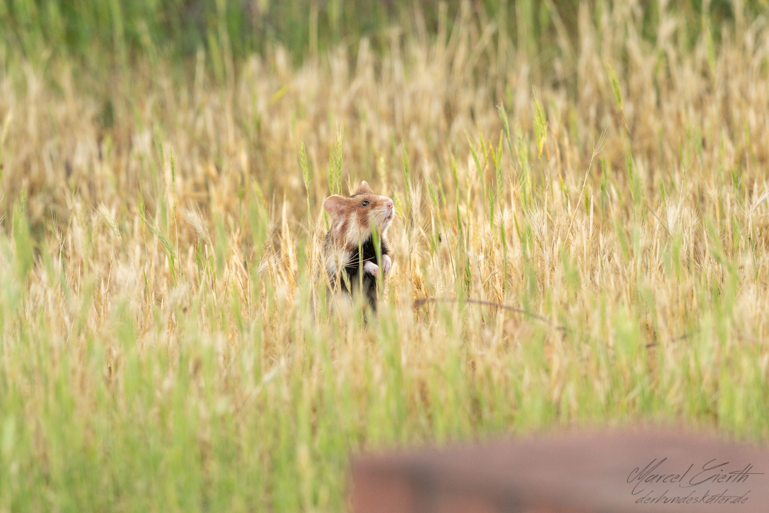 Hamster schaut aus Gras  - Fotograf Marcel Gierth