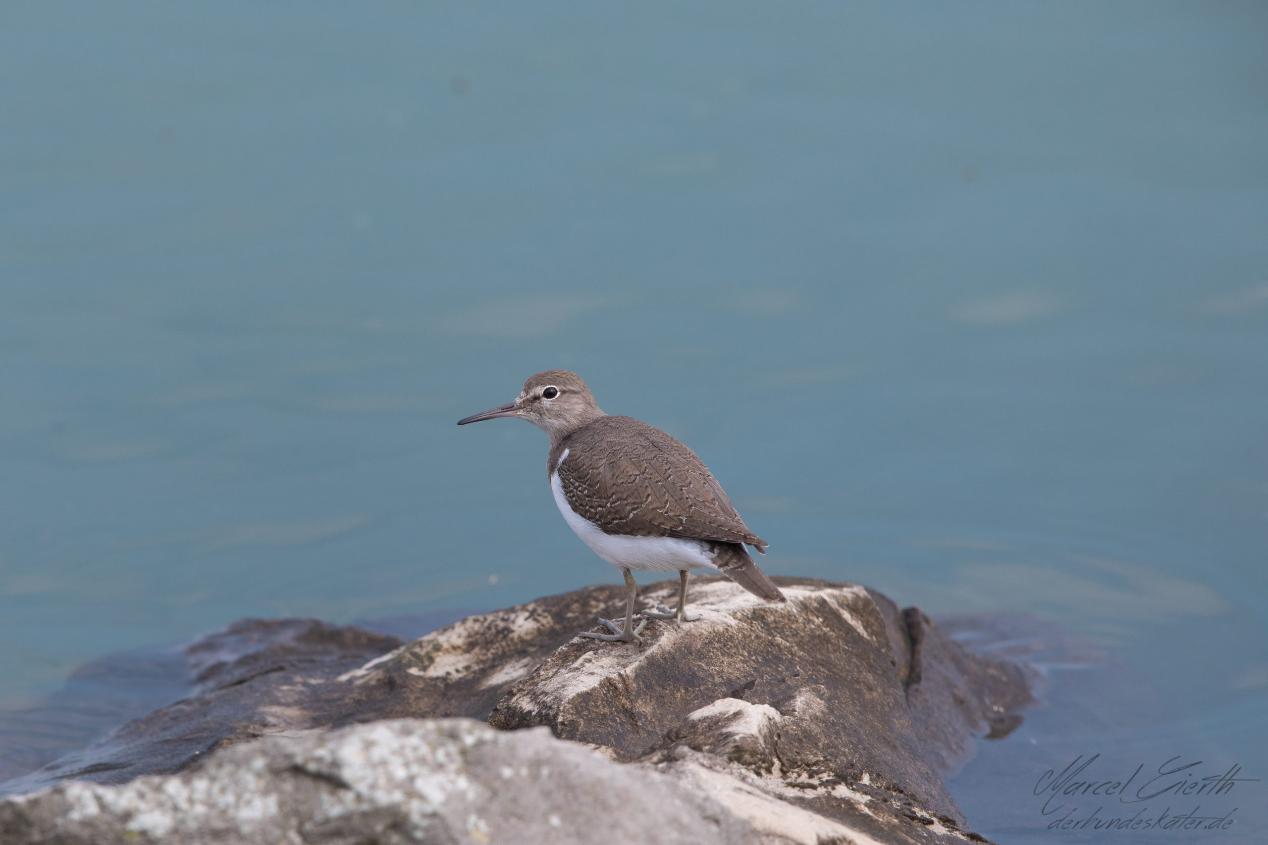 Flussuferlaeufer - Common Sandpiper - Actitis hypoleucos - Fotograf Marcel Gierth