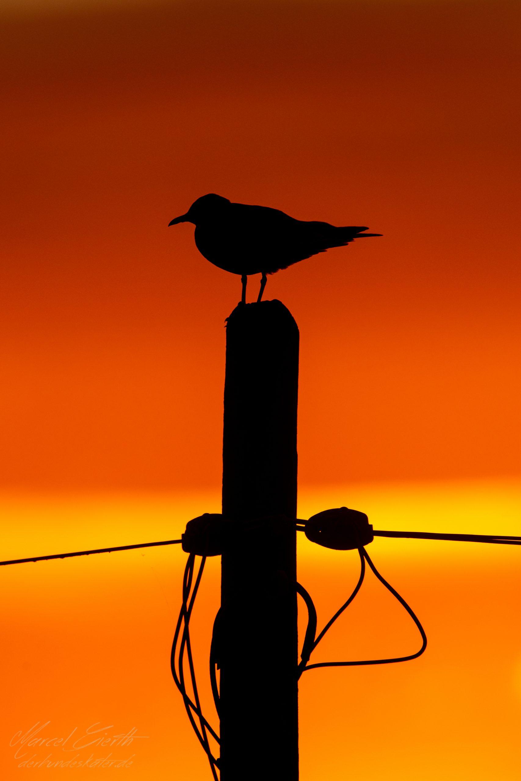 Möwe im Sonnenuntergang im Podelta - Fotograf Marcel Gierth