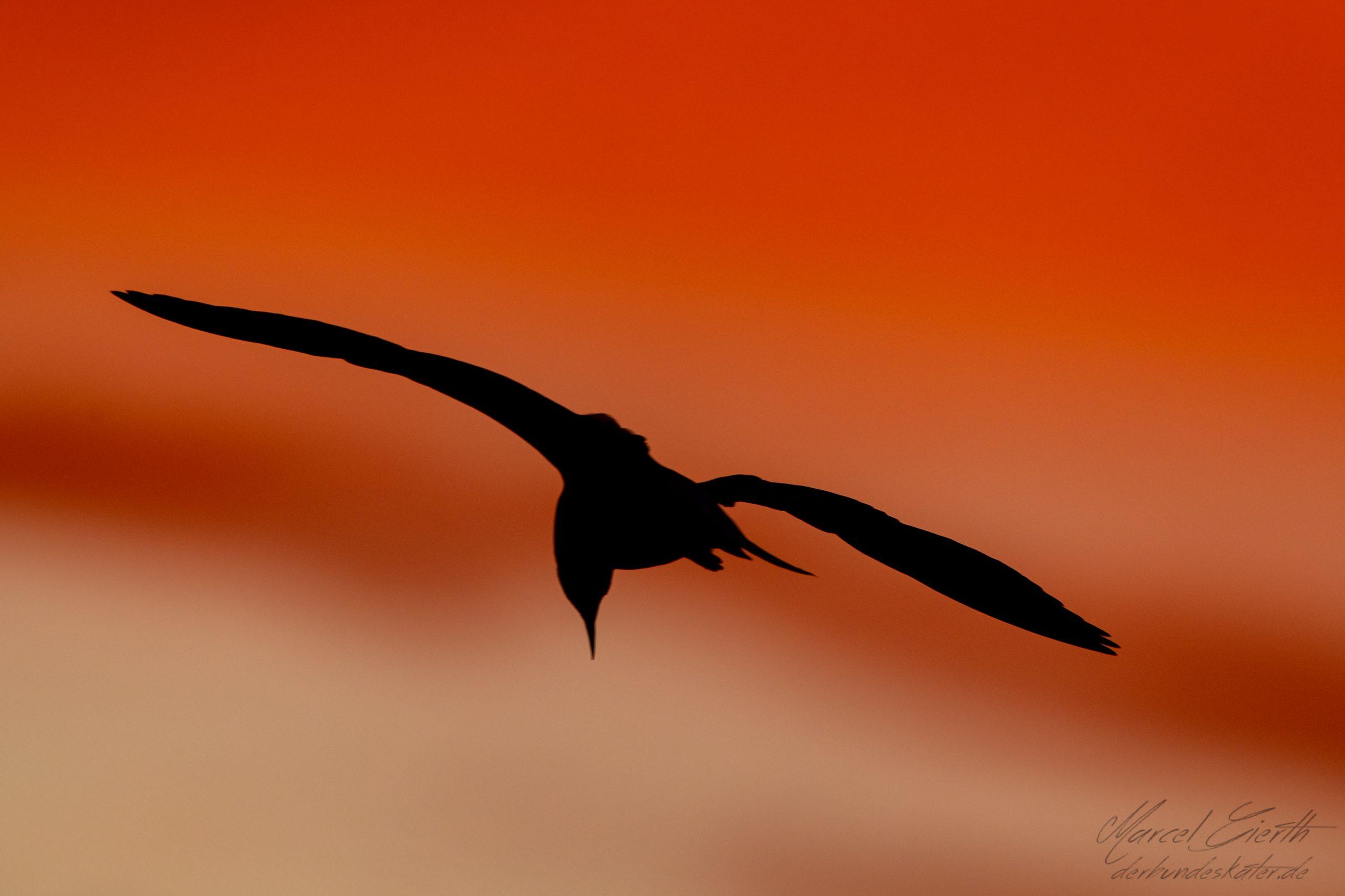 Möwe im Sonnenuntergang - Fotograf Marcel Gierth