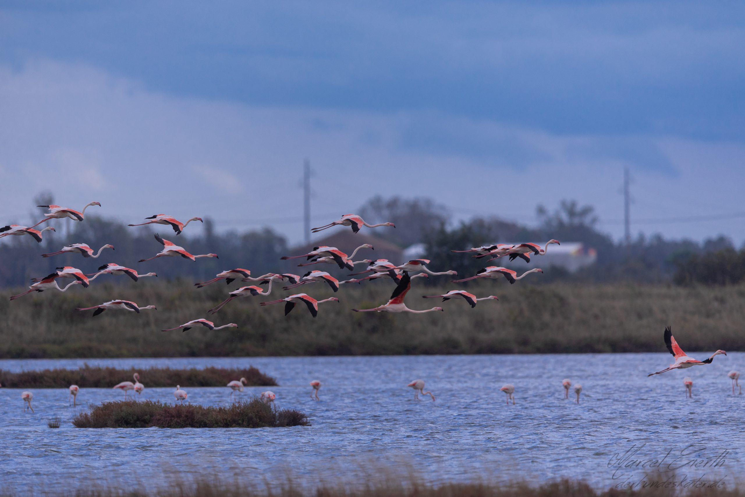 Flamingos landen im Podelta - Fotograf Marcel Gierth