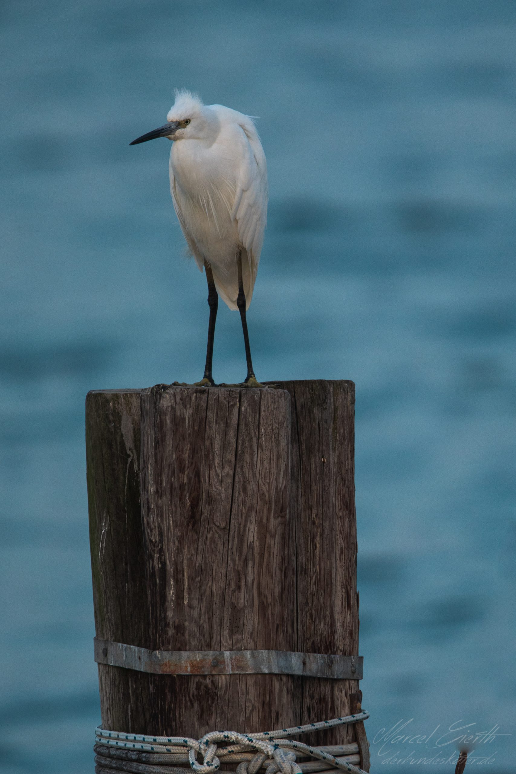 Seidenreiher - Little egret - Egretta garzetta - Fotograf Marcel Gierth