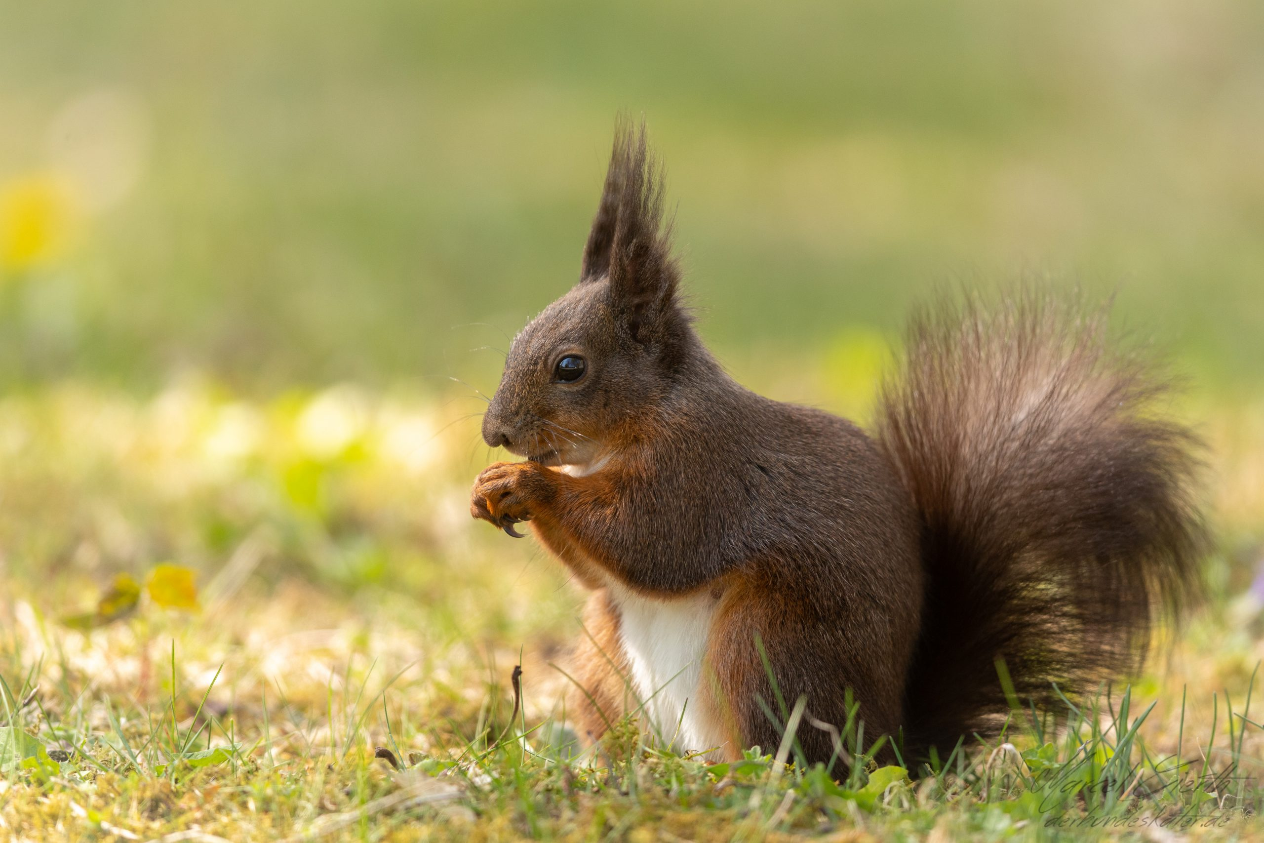 Rückblick: Eichhörnchen auf dem Friedhof Fotograf: Marcel Gierth