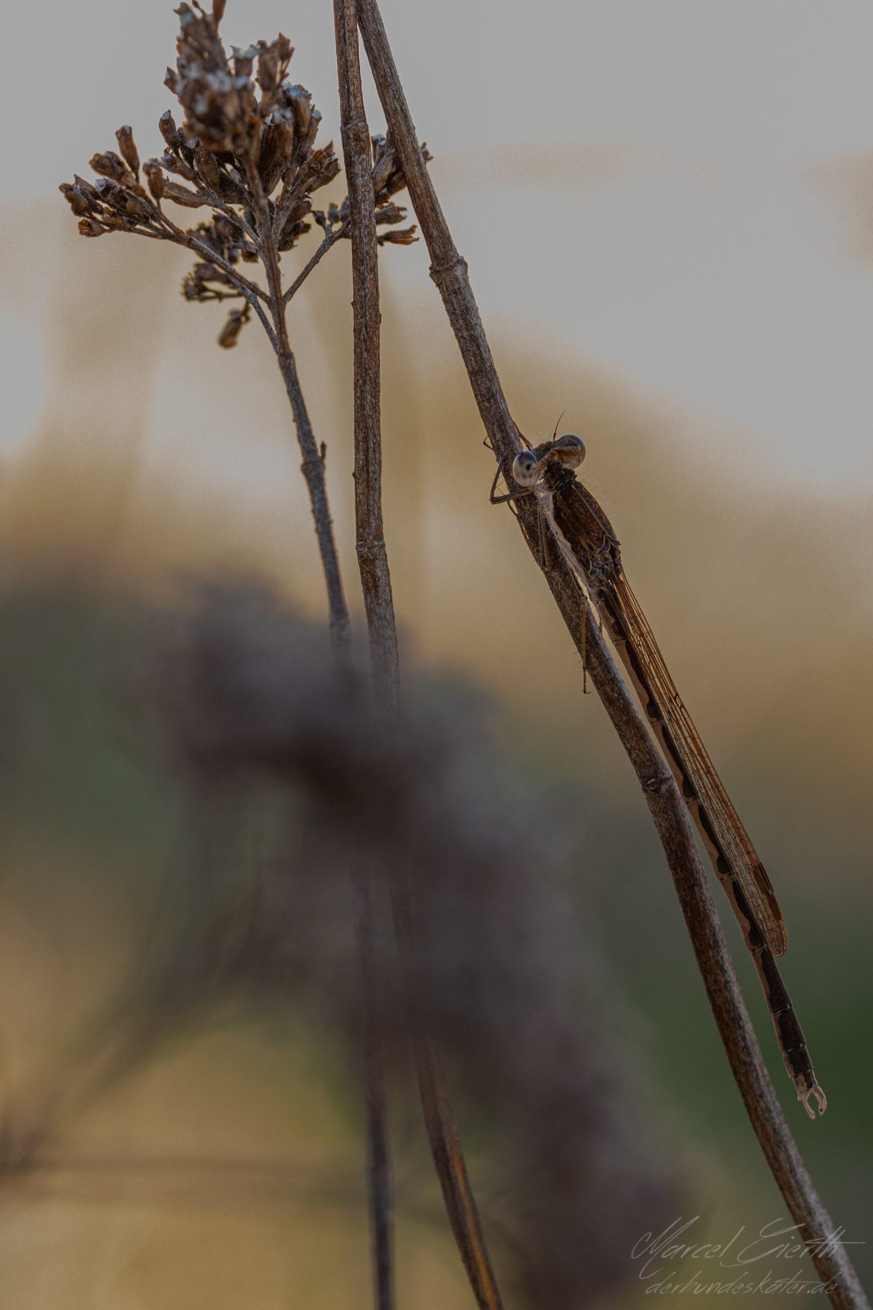 Rückblick: Winterlibelle am Riemer See Fotograf: Marcel Gierth